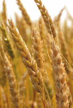 durum wheat sicily